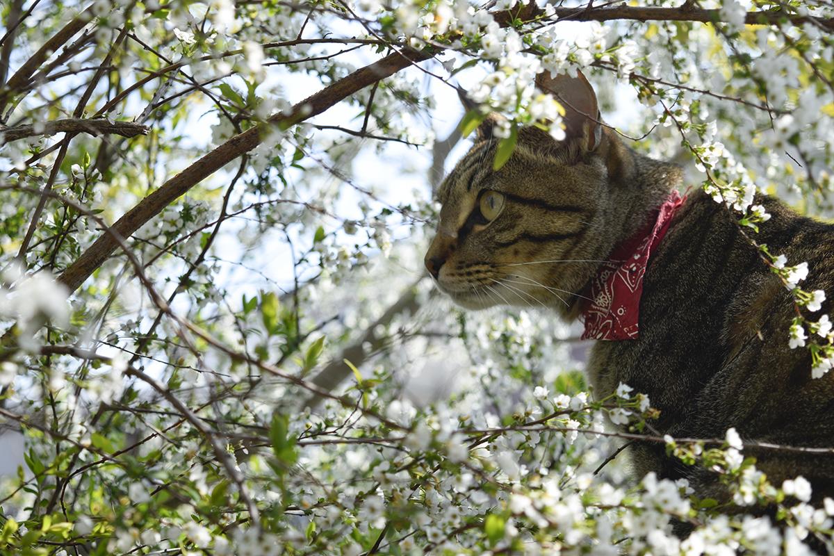 雪柳の中で虫を狙うキジトラ猫の虎ノ介