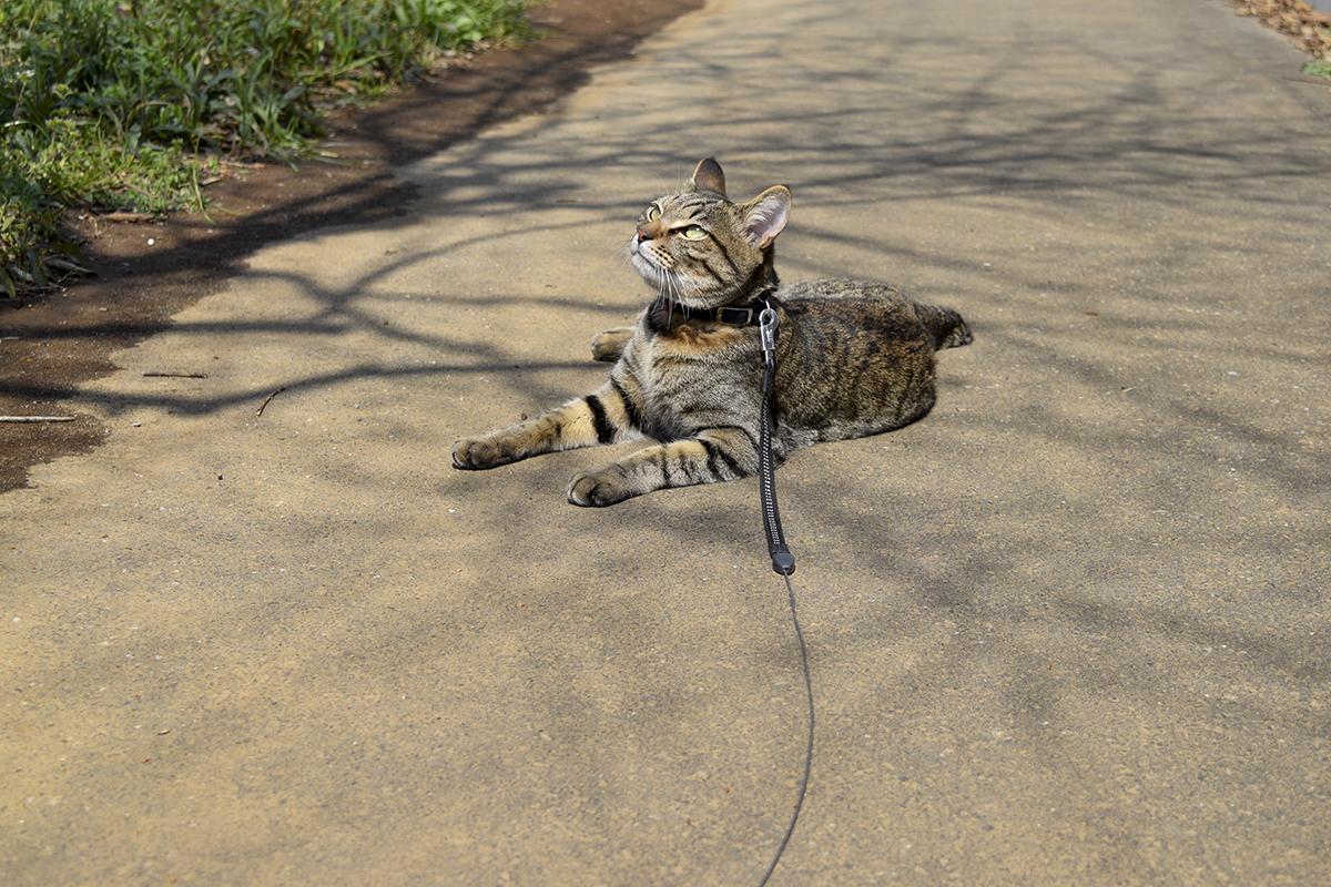 歩くのが面倒になったキジトラ猫の虎ノ介
