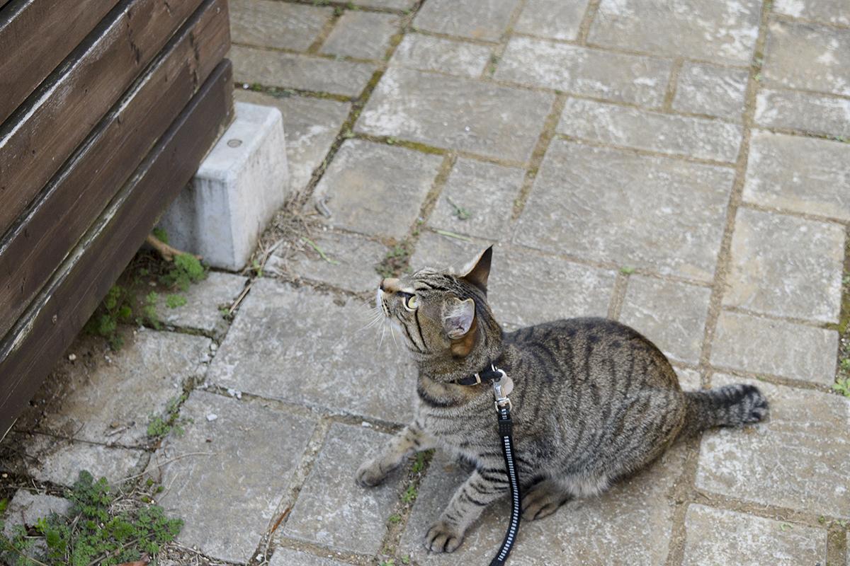 ジャンプする直前のキジトラ猫の虎ノ介