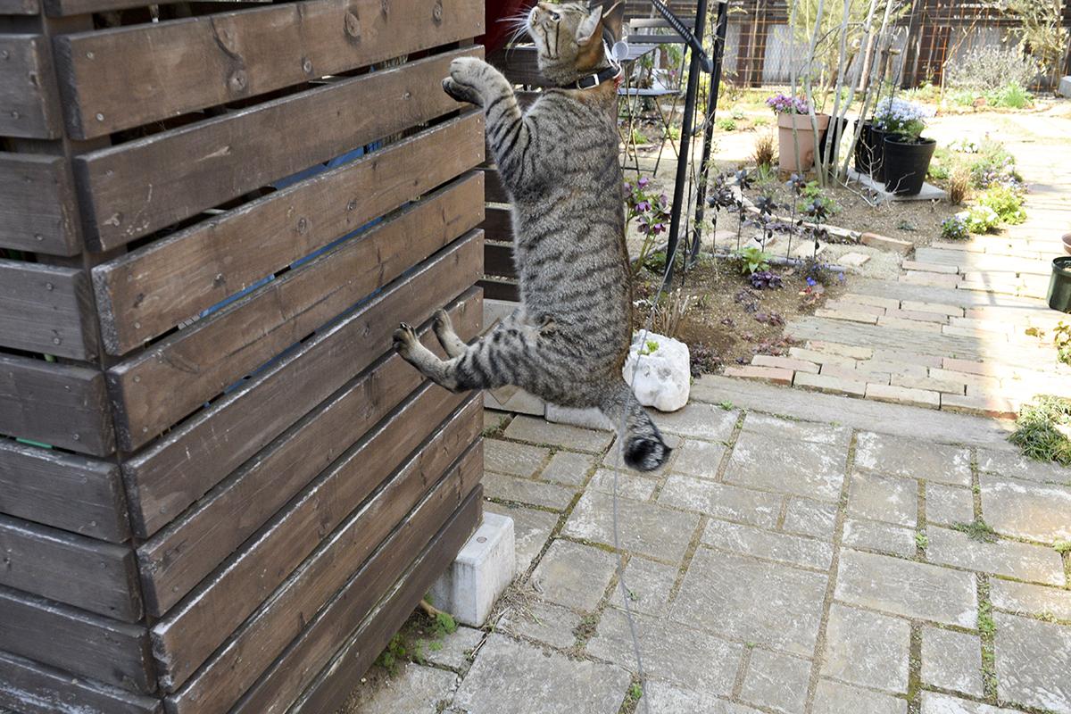 小屋の壁に飛びつくキジトラ猫の虎ノ介