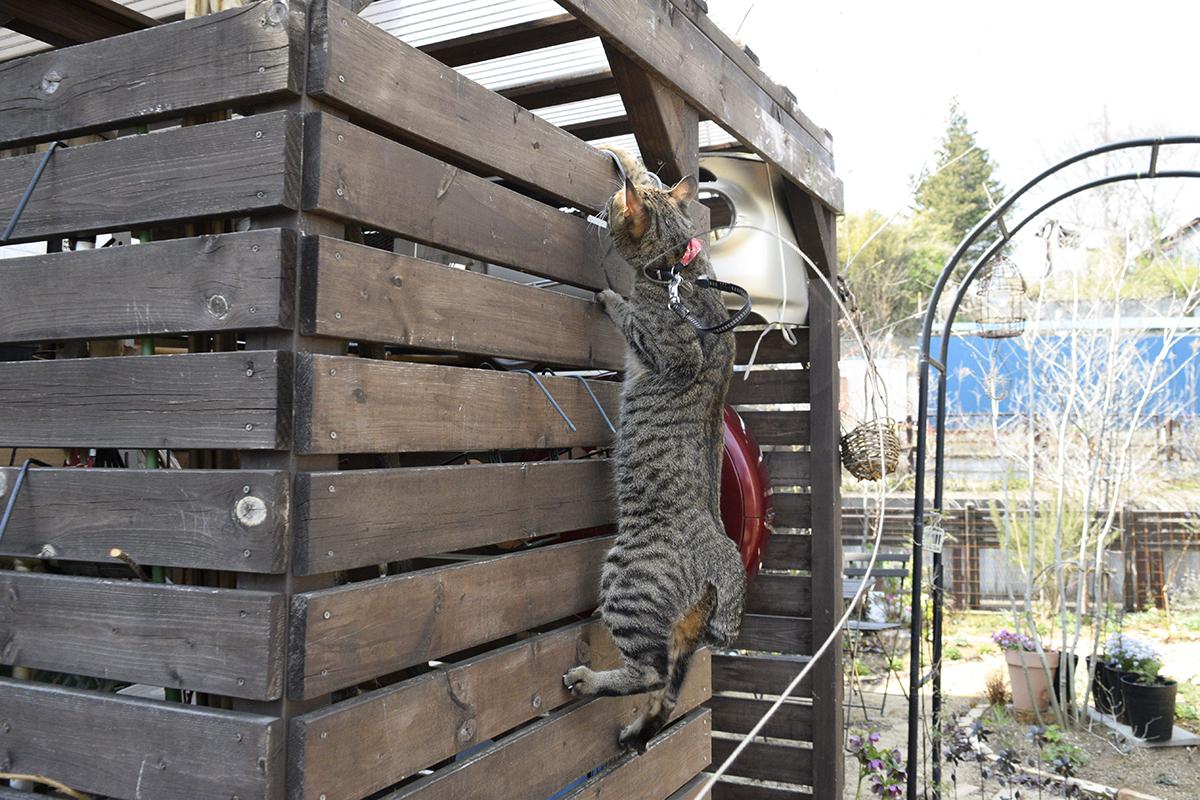 小屋の上方に前足をかけるキジトラ猫の虎ノ介