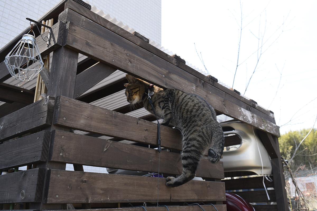 小屋によじ登るキジトラ猫の虎ノ介