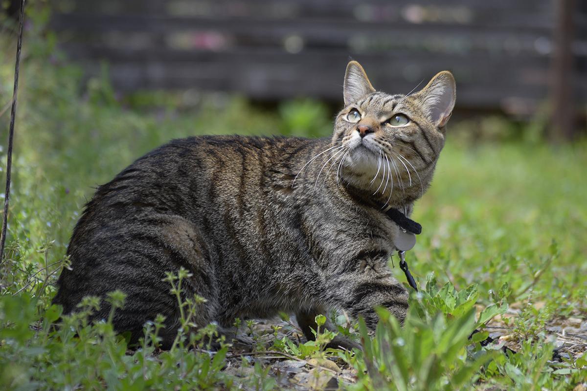 鳥をみつめるキジトラ猫の虎ノ介