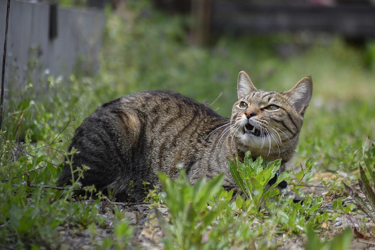 鳥にはなしかけるキジトラ猫の虎ノ介