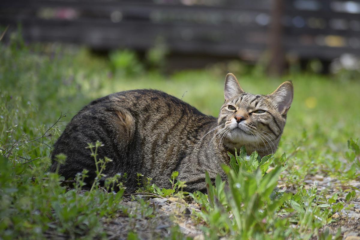 ちょっとうんざり顔のキジトラ猫の虎ノ介