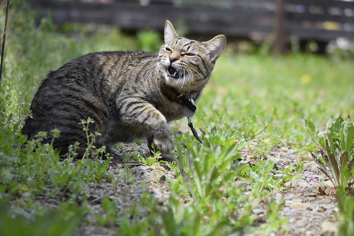 ちょっとイラっとするキジトラ猫の虎ノ介