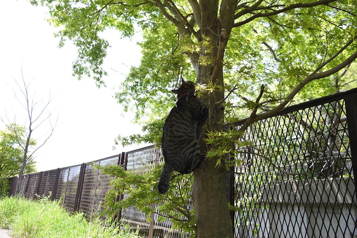 木の幹につかまって後ろ足を踏ん張るキジトラ猫の虎ノ介