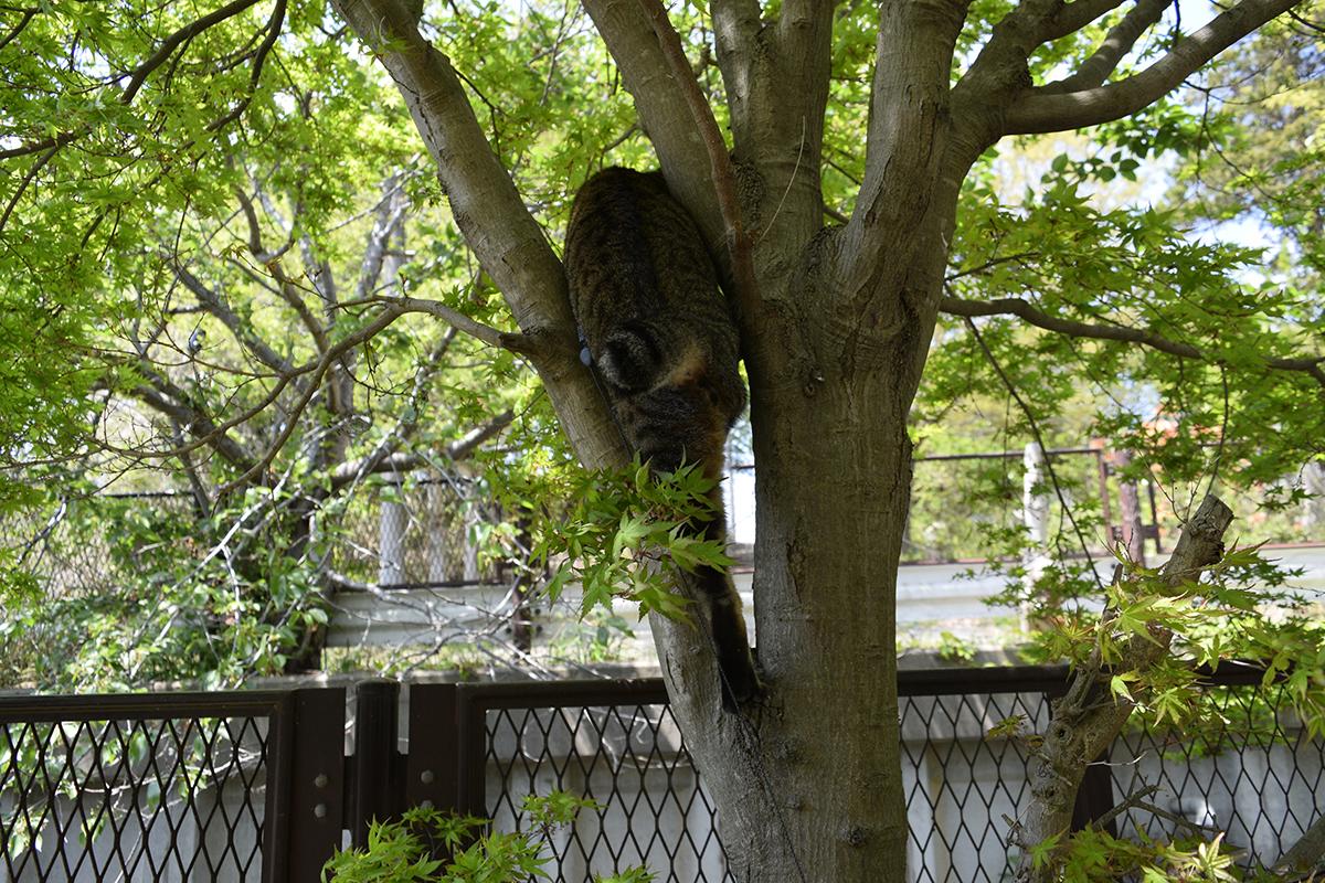 木の枝の間に到達するキジトラ猫の虎ノ介