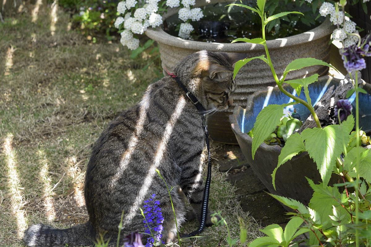メダカの鉢を覗くキジトラ猫の虎ノ介