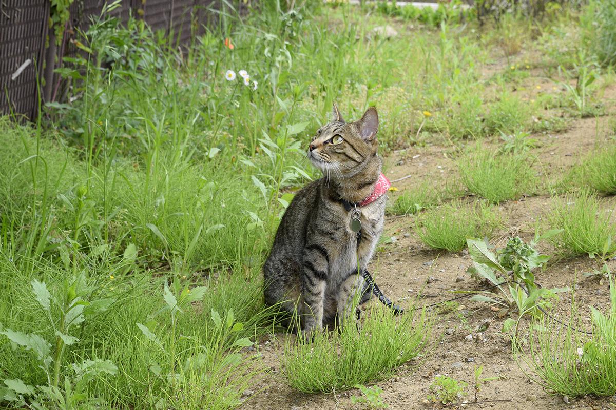 お散歩にでかけるキジトラ猫の虎ノ介