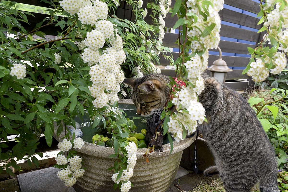 メダカがはいった水鉢をチェックするキジトラ猫の虎ノ介