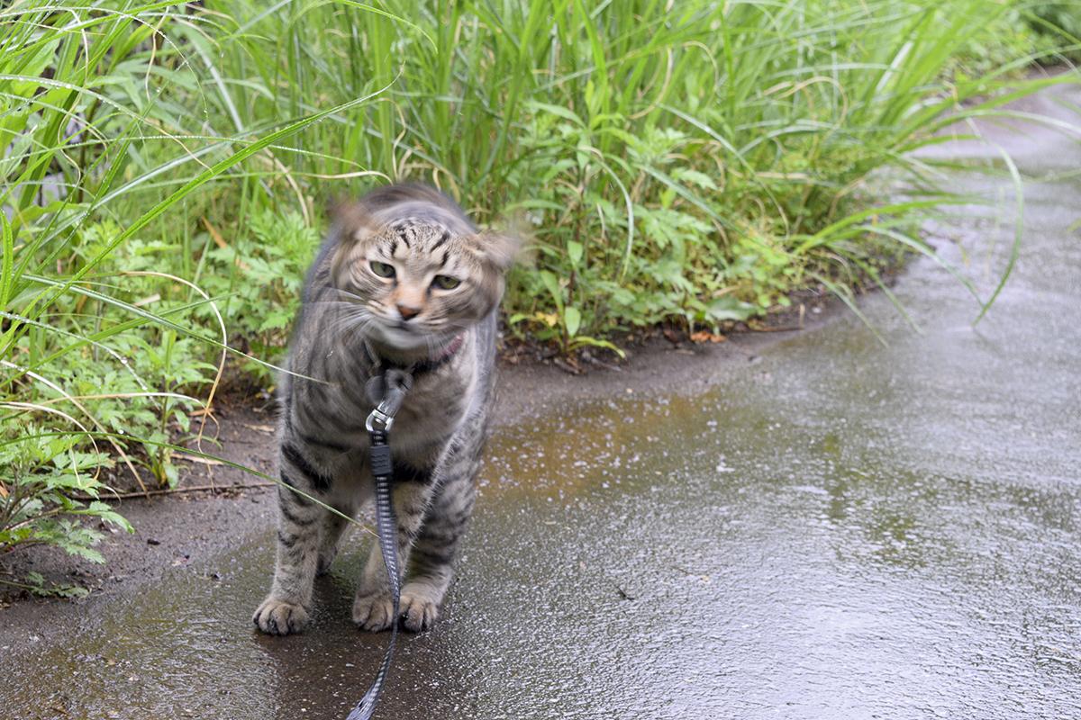 雨に濡れたのでプルプルして水を払うキジトラ猫の虎ノ介