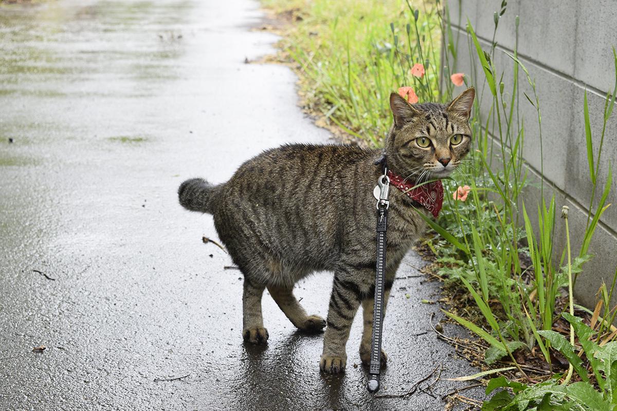 雨が激しくなってきて毛が濡れているキジトラ猫の虎ノ介