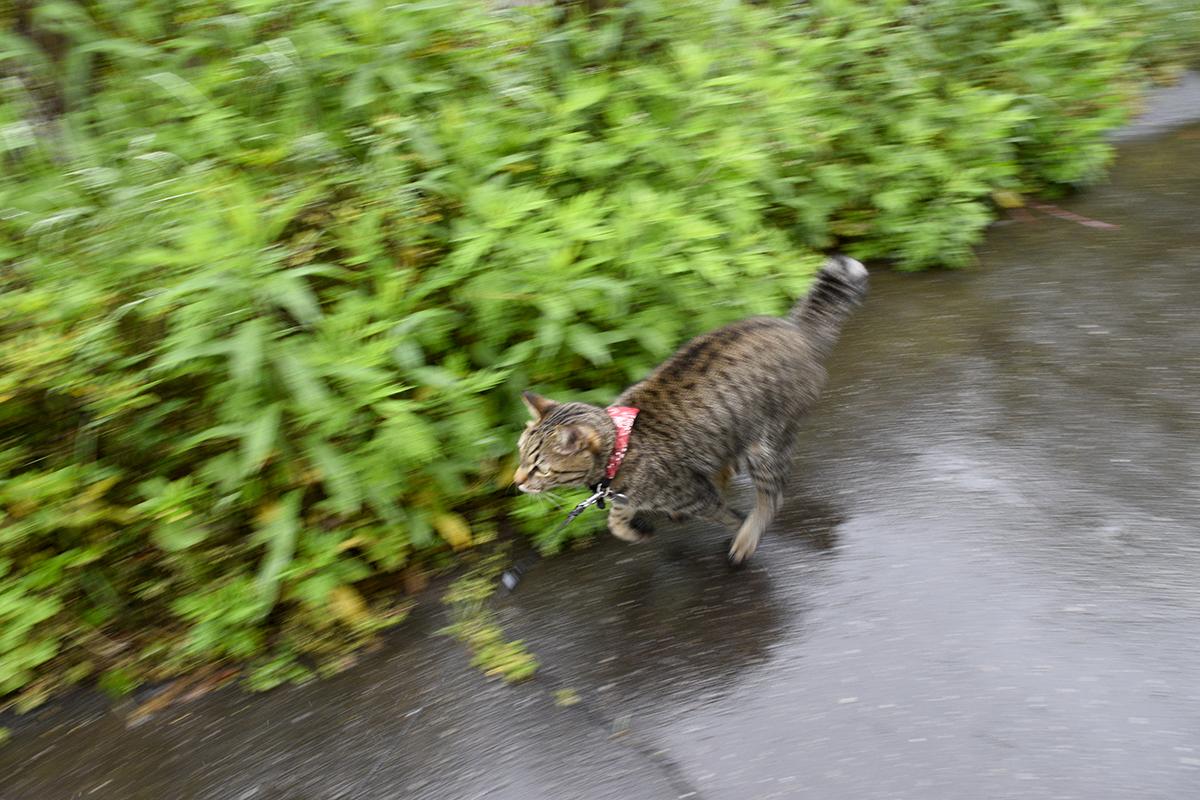 家までダッシュするキジトラ猫の虎ノ介