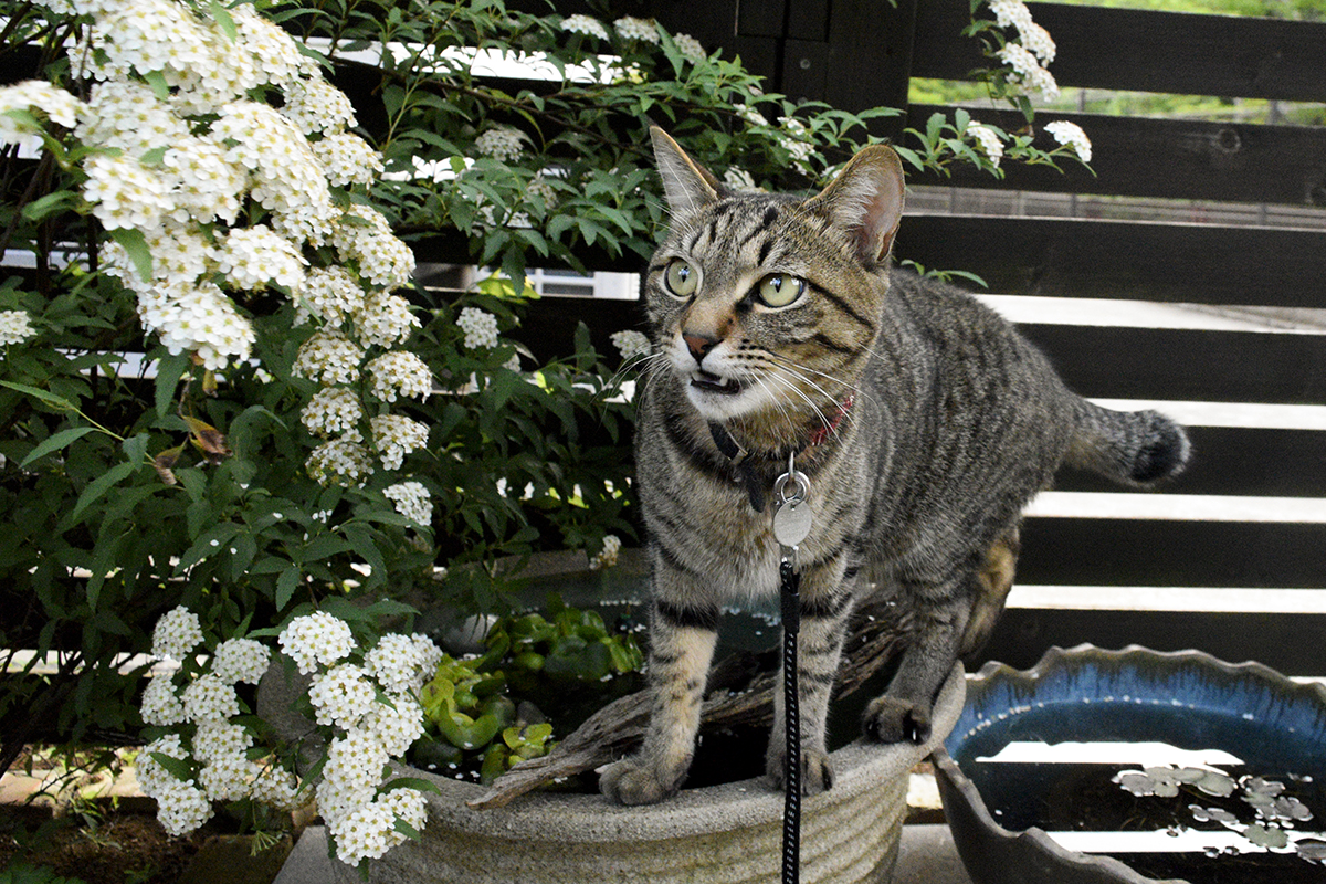 ムハーするキジトラ猫の虎ノ介
