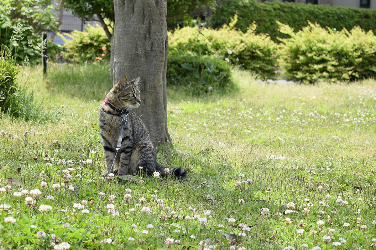公園の木下で涼むキジトラ猫の虎ノ介