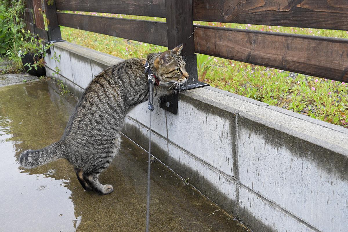 雨の中空き地をチェックするキジトラ猫の虎ノ介
