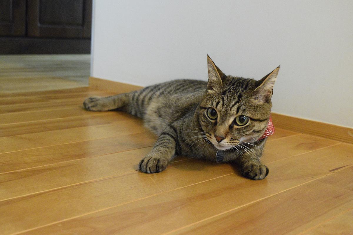部屋で人間と追いかけっこするキジトラ猫の虎ノ介
