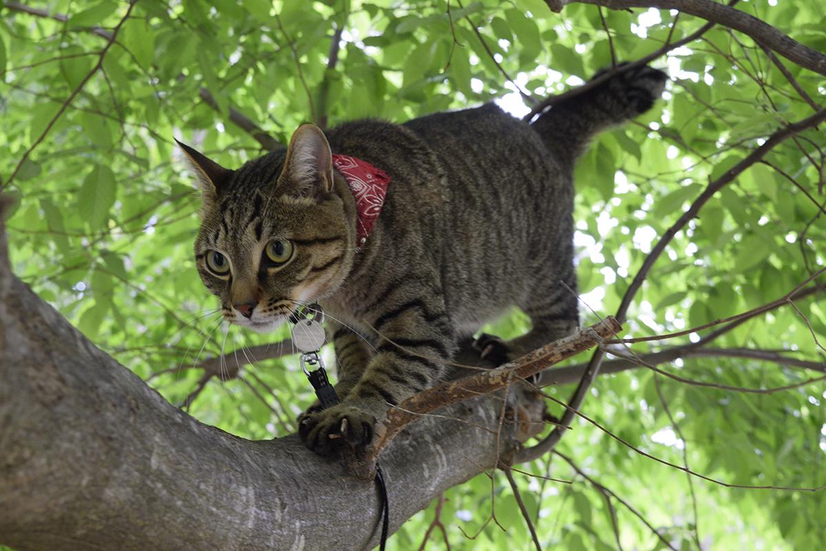 上手に木を降りてきたキジトラ猫の虎ノ介