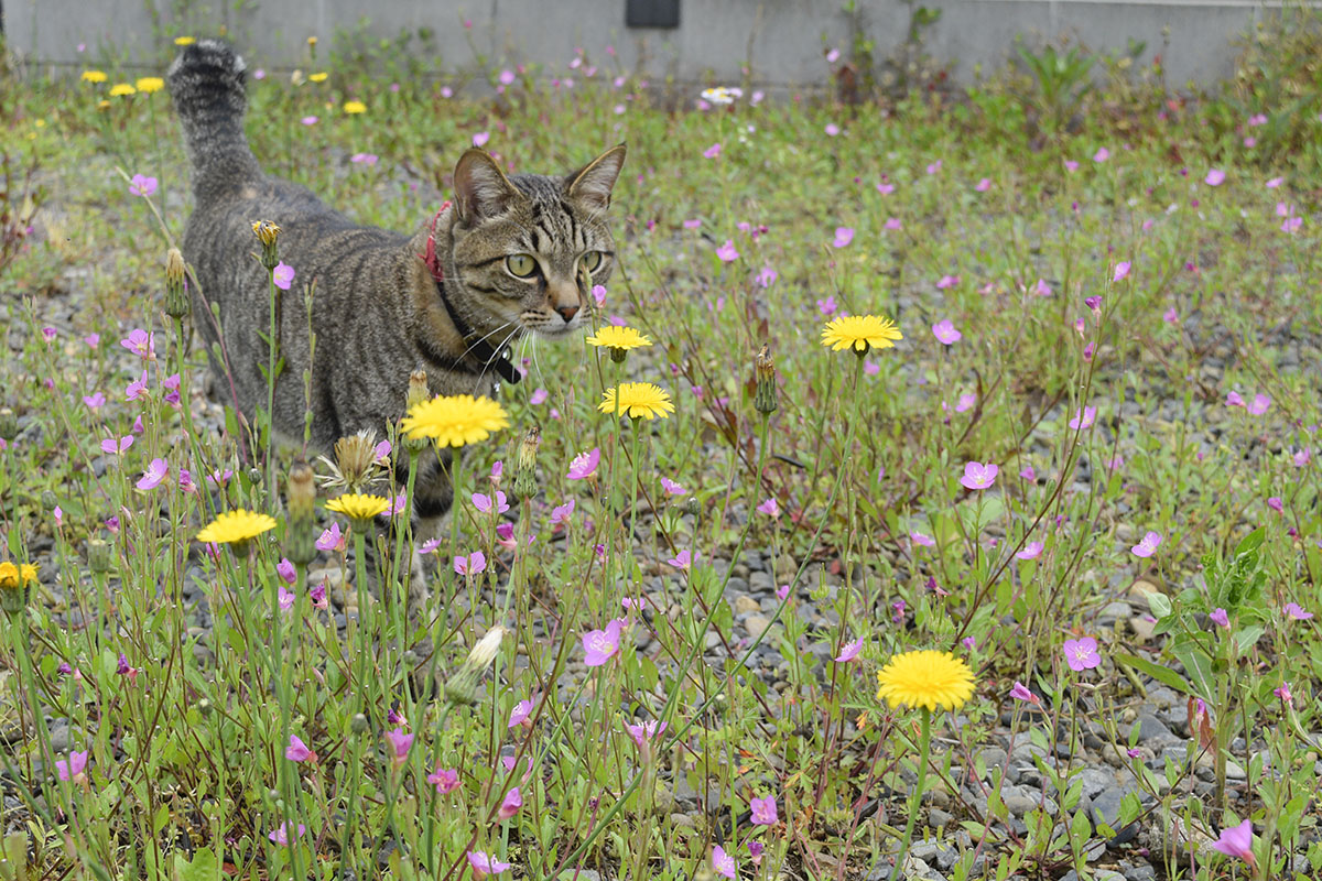 空き地を歩くキジトラ猫の虎ノ介