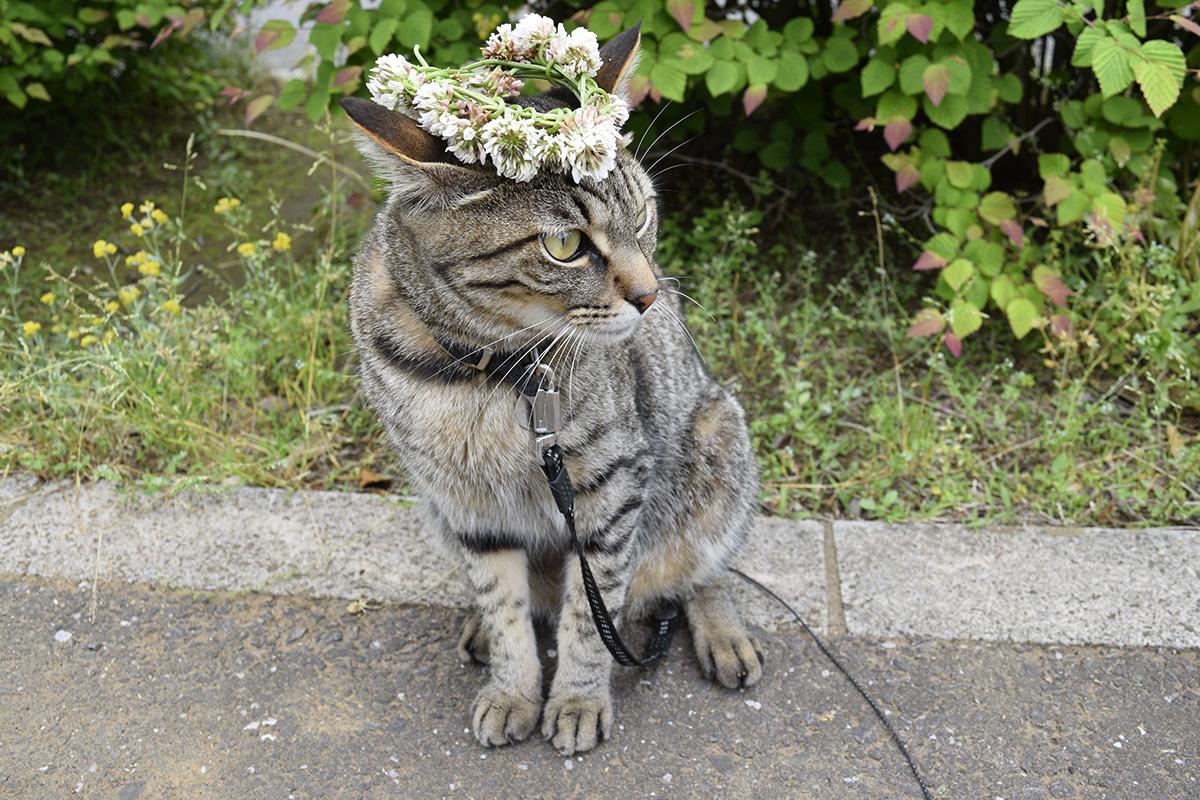 花冠をのせられたキジトラ猫の虎ノ介