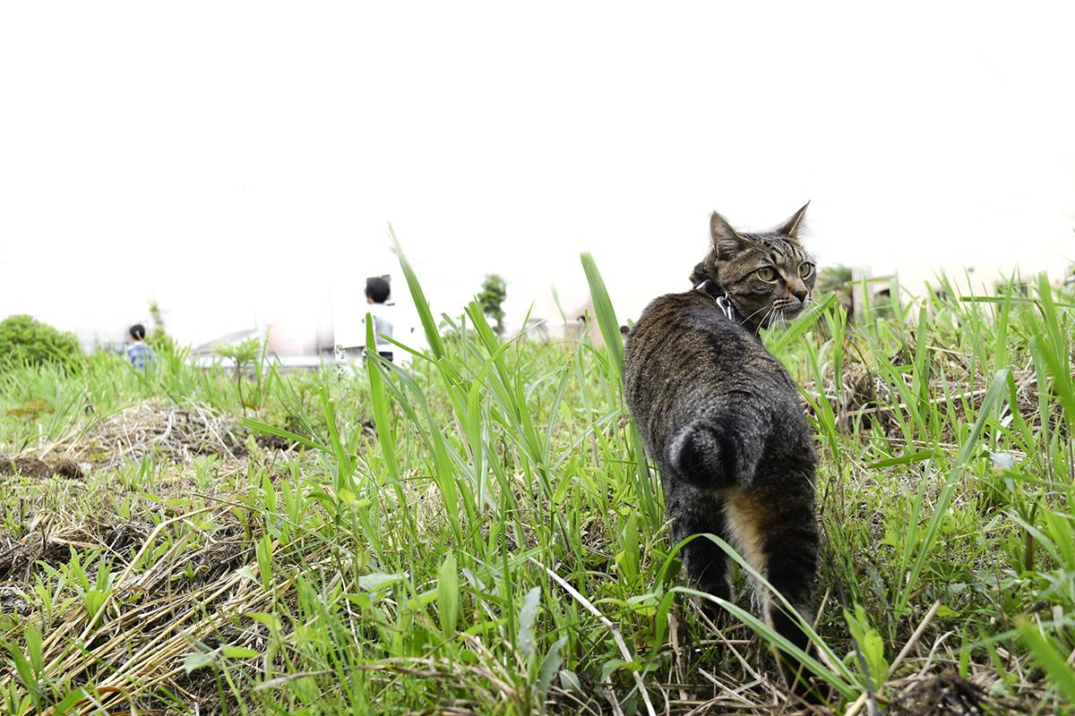 空き地に向かうキジトラ猫の虎ノ介