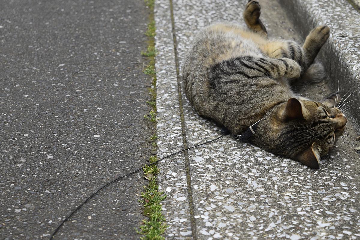 飽きてきてゴロンゴロンするキジトラ猫の虎ノ介