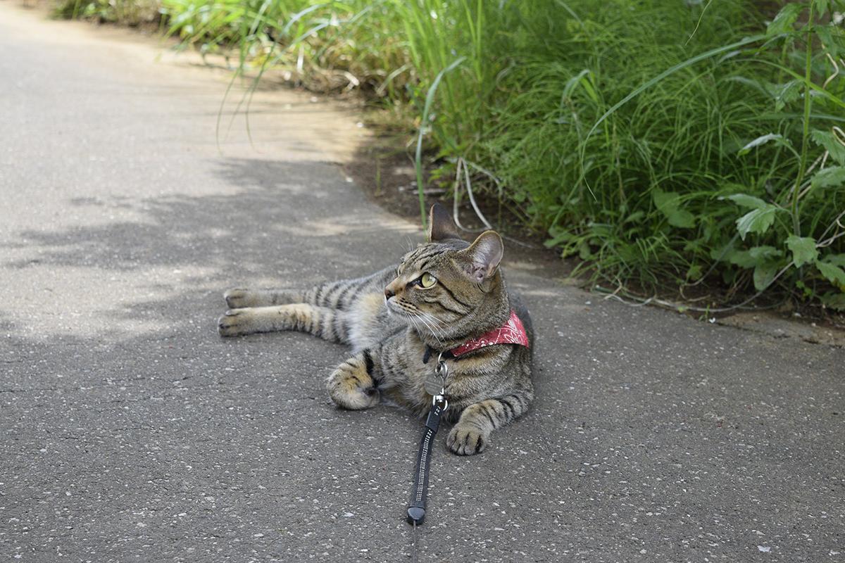 カナヘビを見張るキジトラ猫の虎ノ介