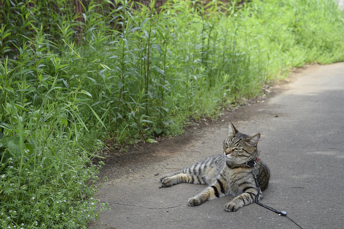 木陰で休憩するキジトラ猫の虎ノ介
