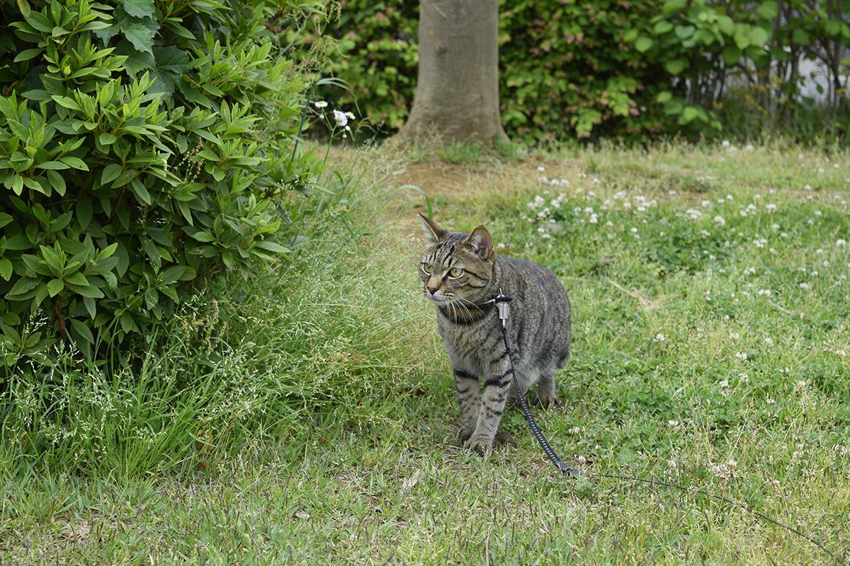 公園を散歩するキジトラ猫の虎ノ介