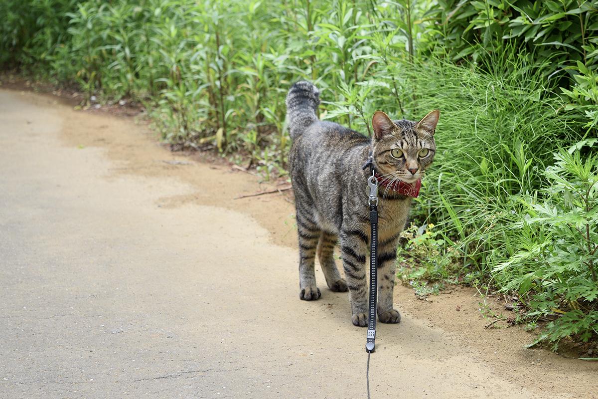 進路に何かを発見したキジトラ猫の虎ノ介