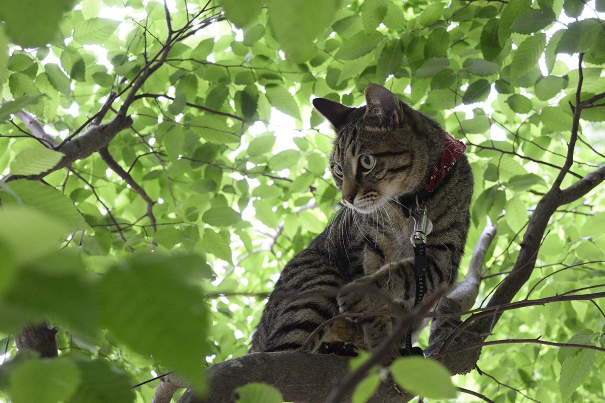 謎の人物に木登りを披露するキジトラ猫の虎ノ介