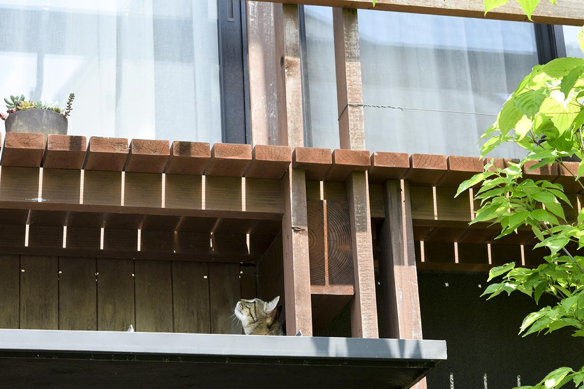 玄関の雨よけの上に移動したキジトラ猫の虎ノ介