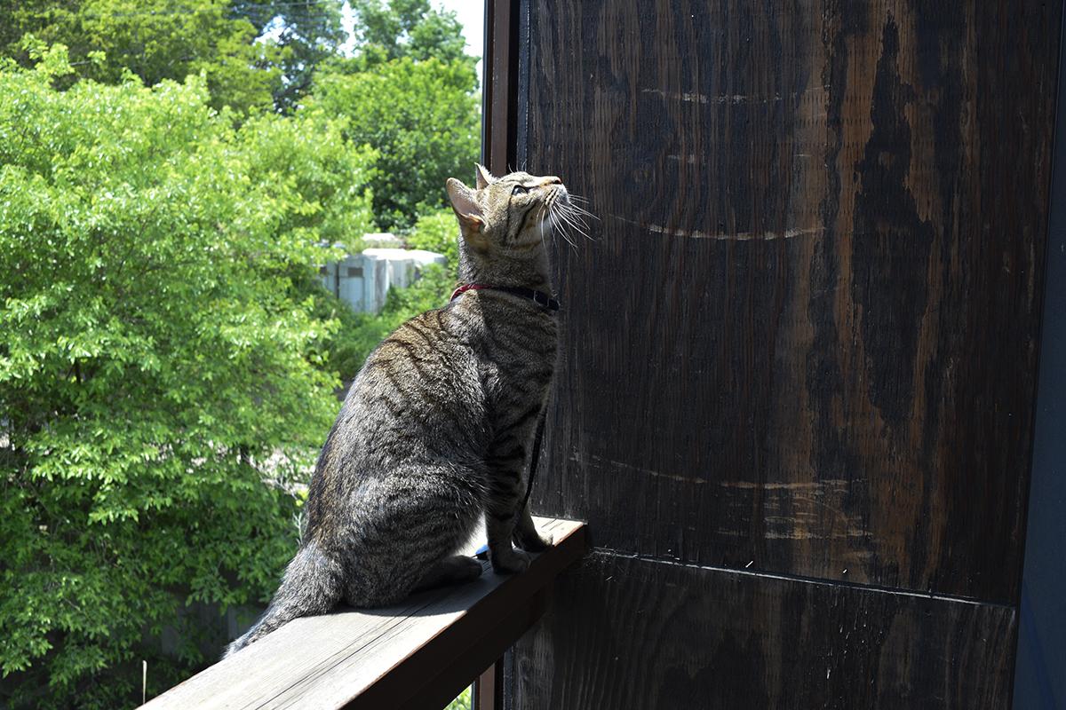 ベランダの手すりに登ったキジトラ猫の虎ノ介
