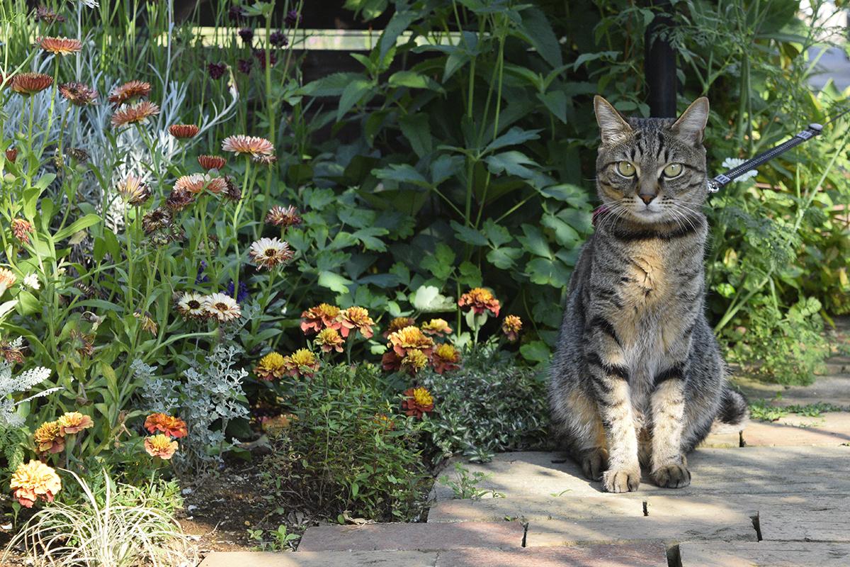 庭で動きたがらないキジトラ猫の虎ノ介