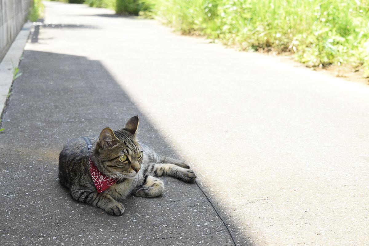 日陰でくつろぐキジトラ猫の虎ノ介