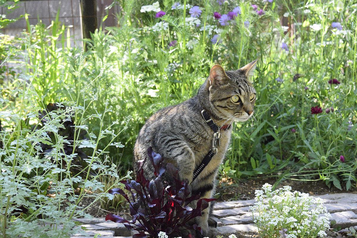 花壇で涼むキジトラ猫の虎ノ介