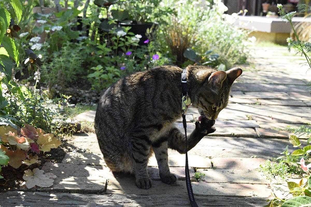 足の手入れをするキジトラ猫の虎ノ介