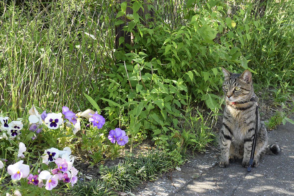散歩中の犬をみつめるキジトラ猫の虎ノ介