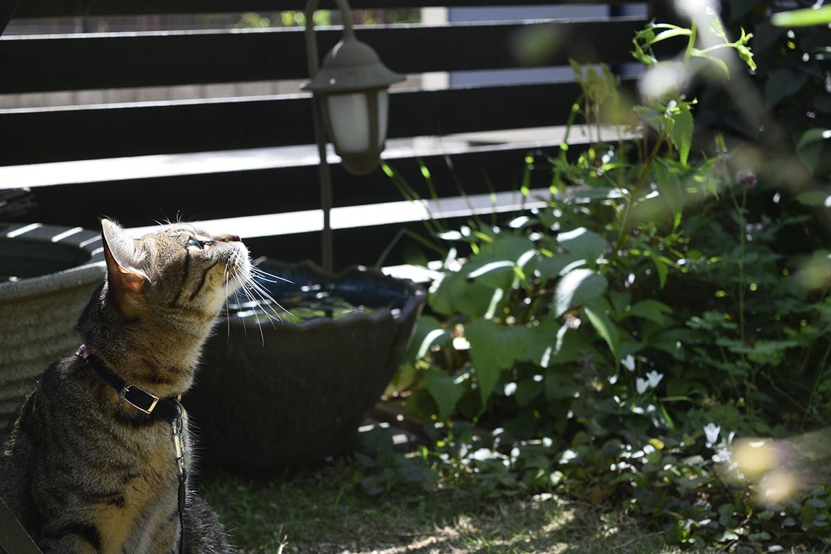 ビヨビヨなく鳥を見上げるキジトラ猫の虎ノ介