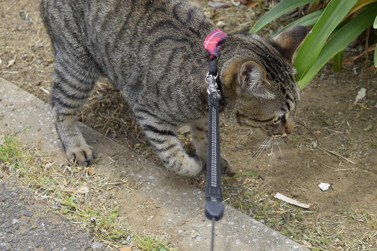 カナヘビを発見して捕まえたキジトラ猫の虎ノ介