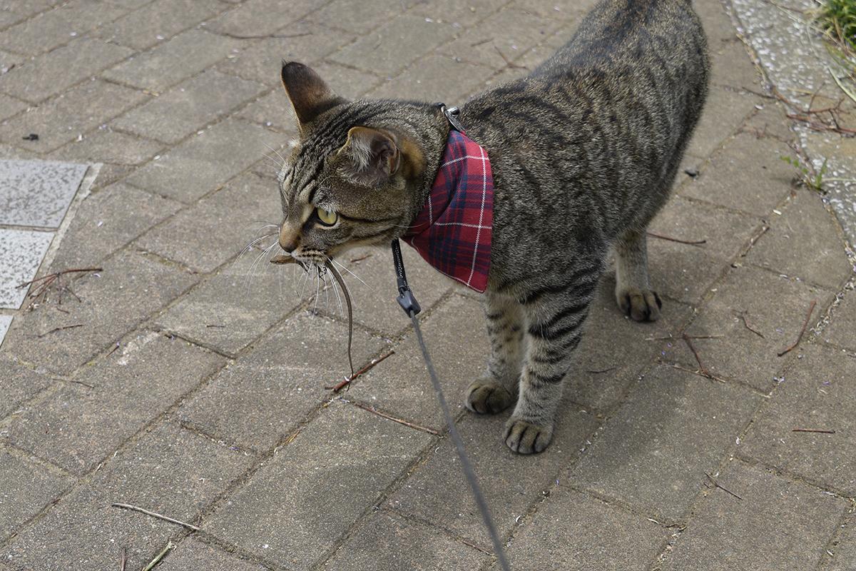 カナヘビを運ぶキジトラ猫の虎ノ介