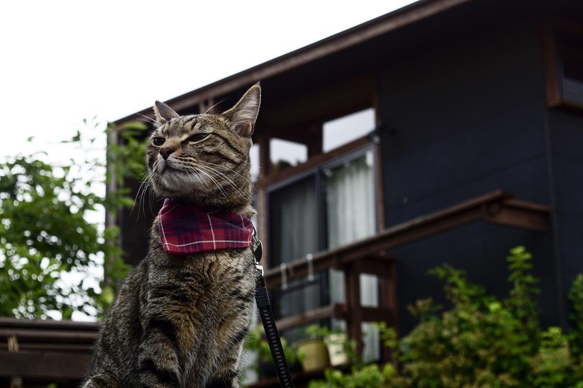 しぶしぶ場所を移動するキジトラ猫の虎ノ介