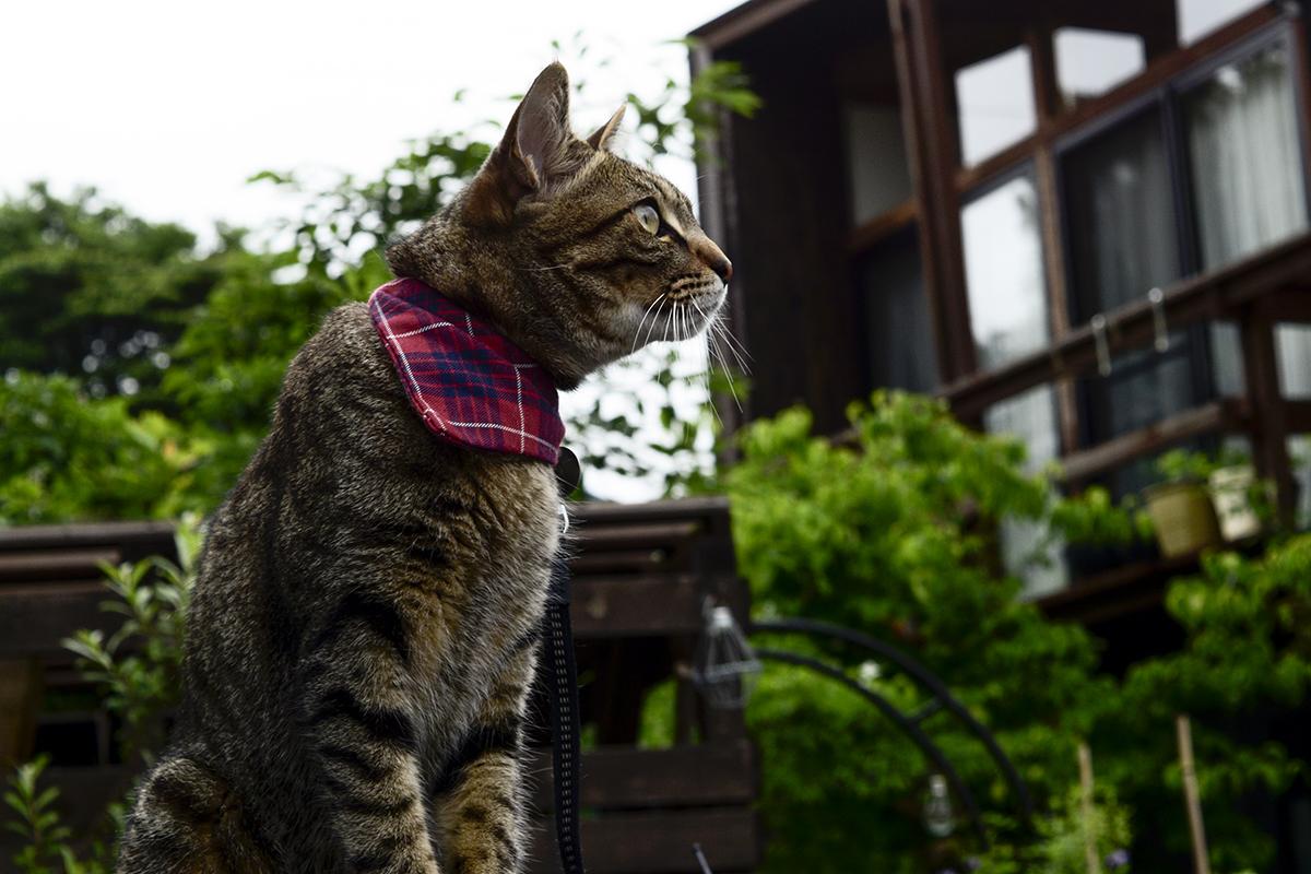 つばめを見つめるキジトラ猫の虎ノ介