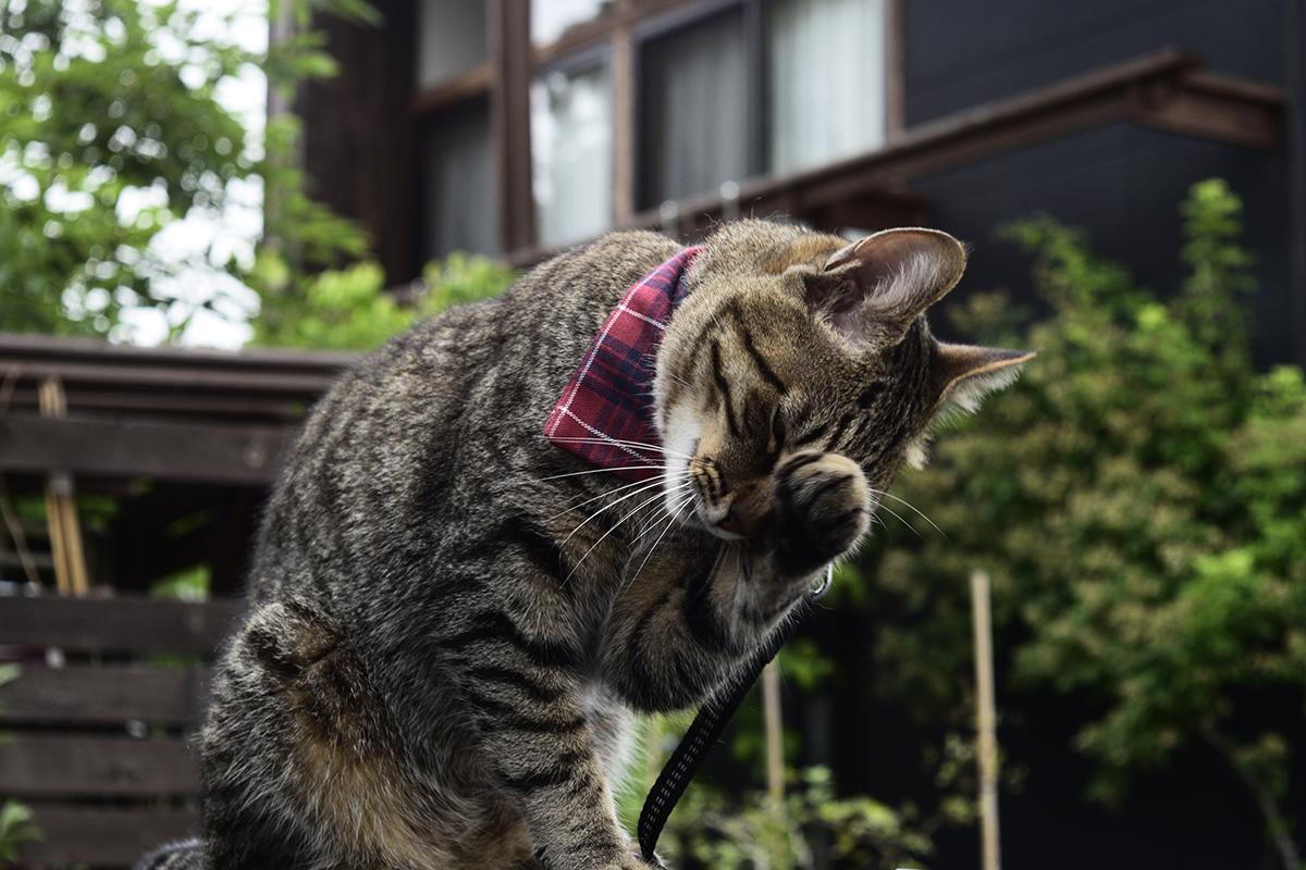 顔をかくキジトラ猫の虎ノ介