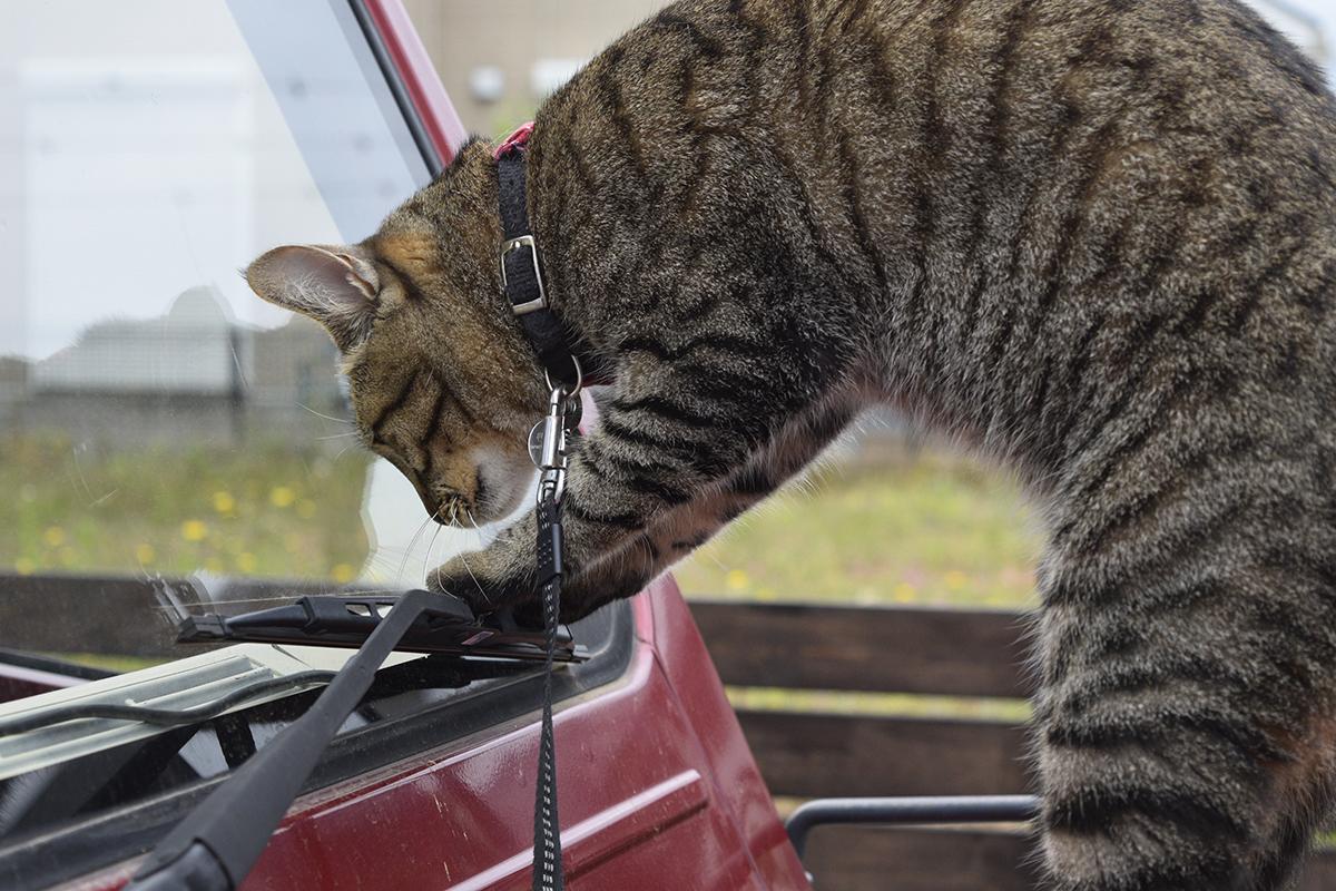 車のワイパーで遊ぶキジトラ猫の虎ノ介