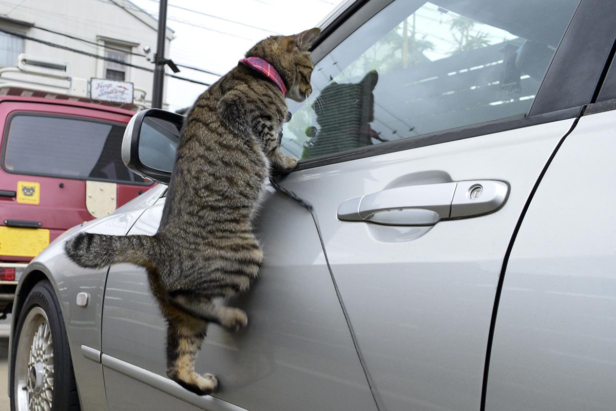 車の窓から中に侵入しようとするキジトラ猫の虎ノ介