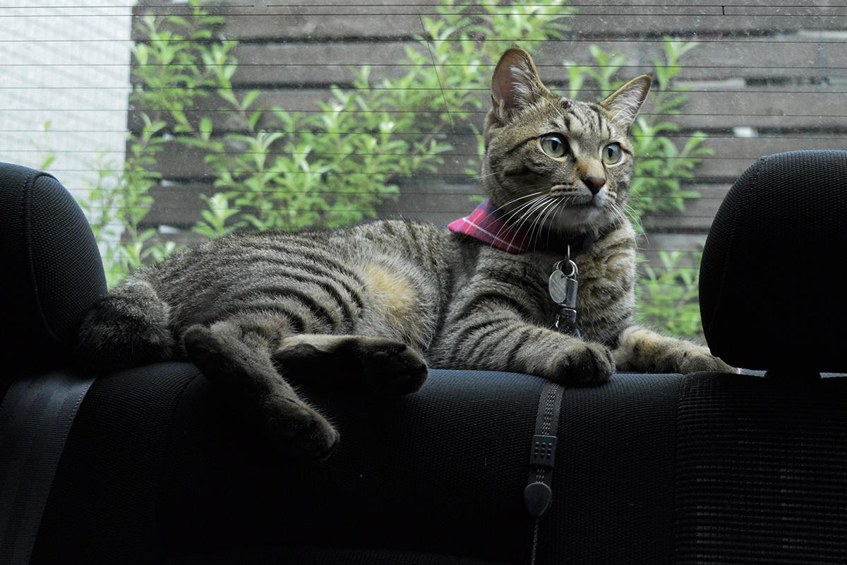 車の中でくつろぐキジトラ猫の虎ノ介
