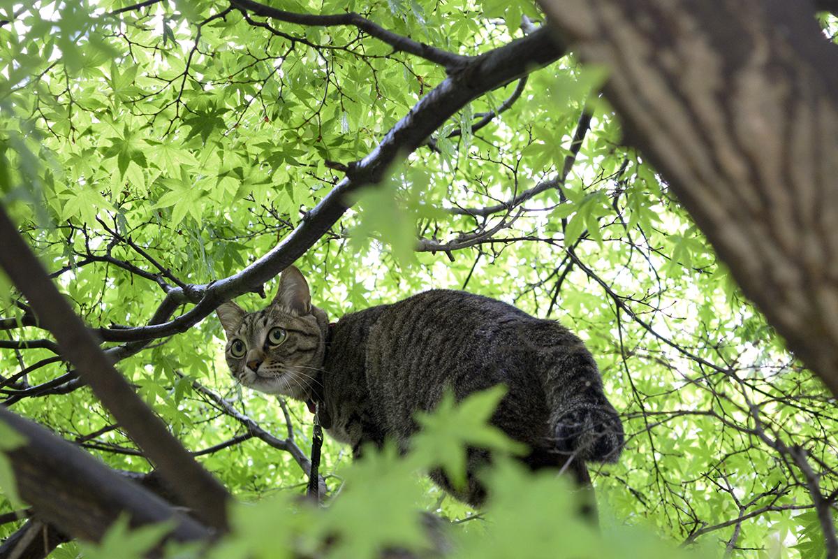 雀をおいかけて木に登ったキジトラ猫の虎ノ介