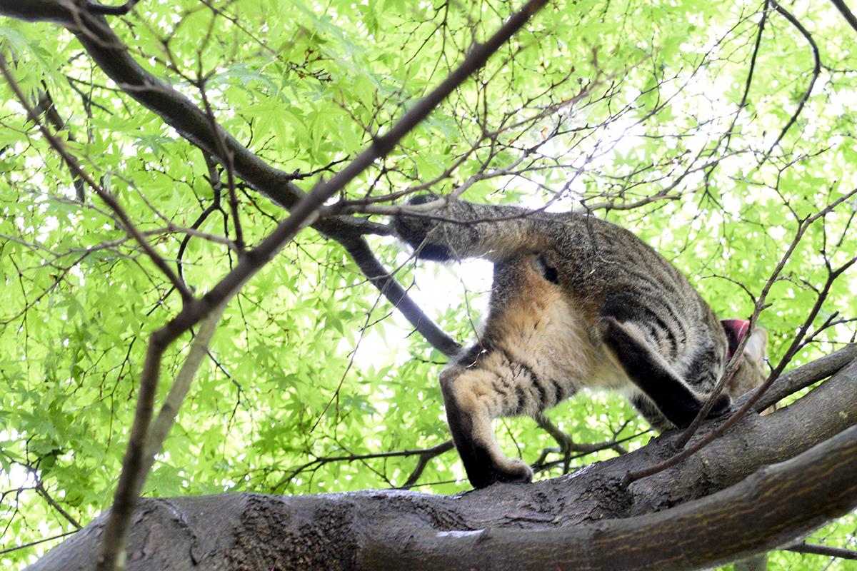 キジトラ猫の虎ノ介のお尻
